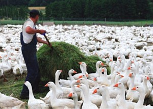 Гусиное стадо – выгодно для частного подворья