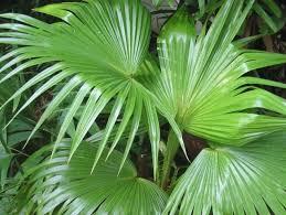 Веерные пальмы