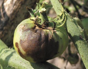 Фитофтороз – заболевание способное полностью уничтожить урожай