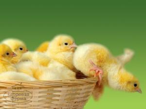 Вывелись цыплята