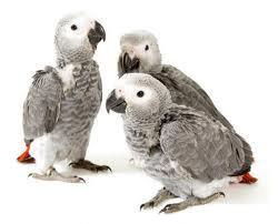 Дикие птицы, содержащиеся в домашних условиях