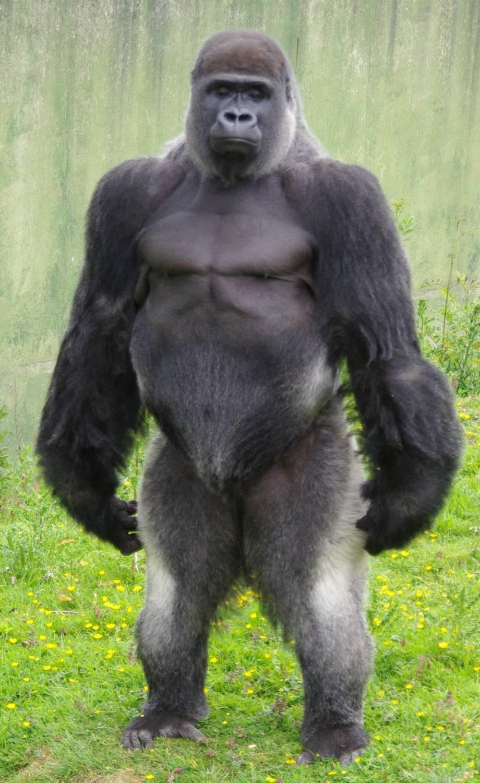 Gorilla penis pistures adult pics