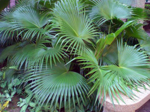 Веерные пальмы в зимнем саду и ландшафтном  дизайне – об этом рассказывает сайт «Зеленое Строительство»