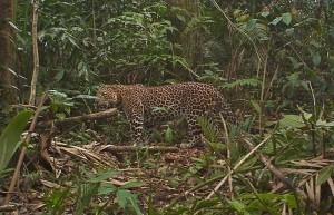 Яванский леопард