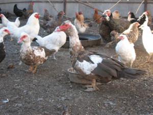 Увеличение продолжительности дня – первый сигнал для домашней птицы