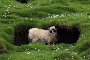 Всюду пасутся овцы