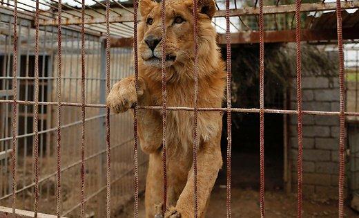 Брошенные лев и медведь спасены из зоопарка Мосула в Ираке