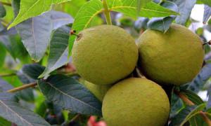 Орех распространяет сильный фитонцидный запах