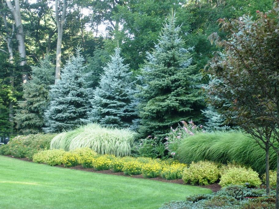 Ель – уникальное растение для парков и ландшафтного дизайна