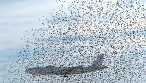 Птицы – основная опасность для грузового самолета