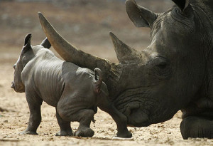 Половина популяции черных носорогов обитает в Зимбабве