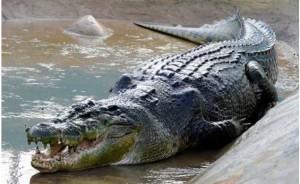 Насколько опасен крокодил?