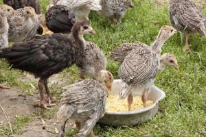 Правила формирования птичьего племенного стада