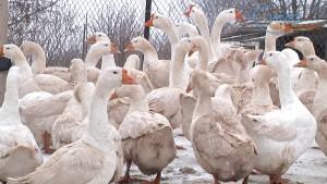 Увеличение продолжительности дня – первый сигнал весны для домашней птицы