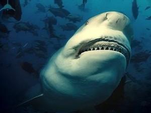 Тупорылая акула или акула-бык