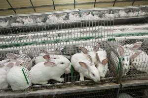 Современное кролиководство