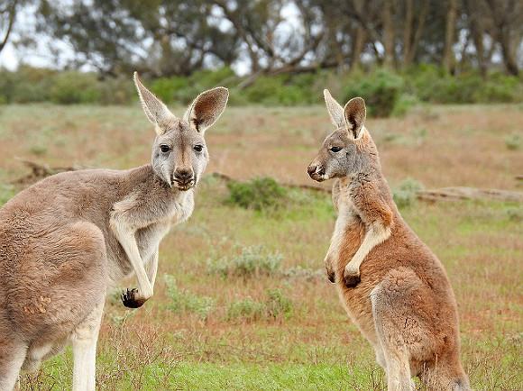 Полиция Западной Австралии расследует случаи жестокого обращения с дикими животными