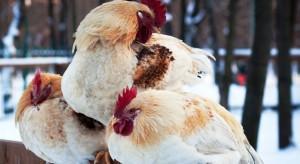 Подготовка кур-несушек к весне