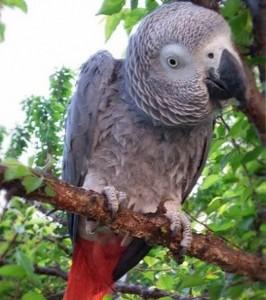 Африканский серый попугай или жако