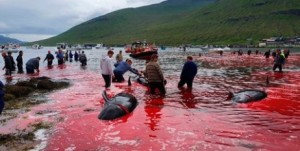 В этом году, это уже десятый раз устраивается массовая охота на китов. В течение года, убито 536 черных дельфинов. Последняя охота принесла 23 жертвы.