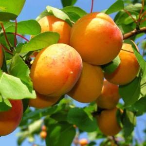 Целебные свойства абрикоса
