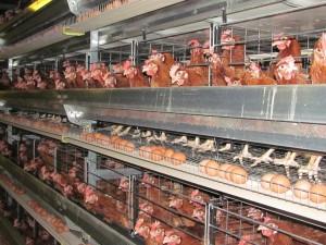 На птицефабриках Индии планируют запретить использование антибиотиков
