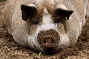 В Мьянме выявлен первый случай заболевания свиней африканской чумой
