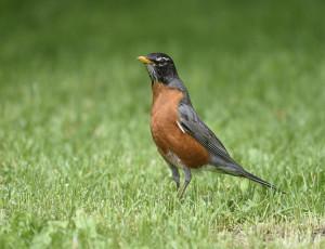 В чем проблема сокращения количества птиц в Северной Америке?