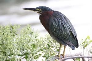 Северная Америка потеряла почти 3 миллиарда птиц с 1970 года