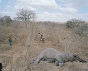 Из-за сильной засухи, в Зимбабве погибло до 200 слонов