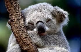 Тысячи коал пострадали от пожаров в районе к северу от Сиднея