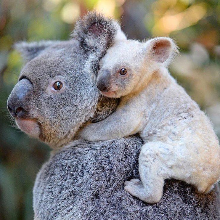 Основные причины снижения количества коал в природной среде обитания