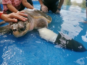 Протез ласта морской черепахи, позволит Гуди снова вернуться в море