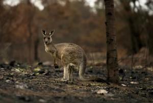 Пожары в Австралии нанесли непоправимый урон дикой природе