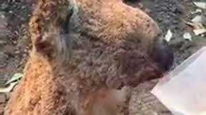 Пожары в Австралии привели к исчезновению 100 видов животных, находящихся под угрозой полного исчезновения