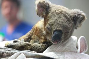Бедственное положение диких животных, оказавшихся в австралийских лесных пожарах