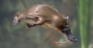 Меры по спасению утконосов, проводимые в Австралии