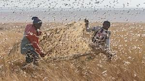 Рои саранчи атакуют Восточную Африку