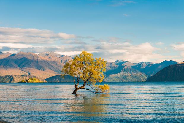 Дерево Ванака в Новой Зеландии
